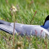 Arctic Tern nesting in the grass