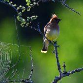 Cedar Waxwing and spider web